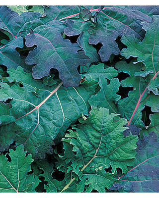 Kale, Red Russian 1 Pkt. (500 seeds)