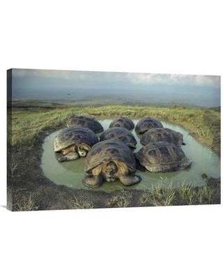 "East Urban Home 'Galapagos Giant Tortoises Wallowing Alcedo Volcano Galapagos' Photographic Print EAUB4676 Size: 20"" H x 30"" W Format: Wrapped Canvas"
