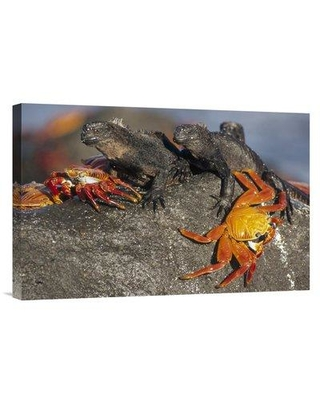 """East Urban Home 'Sally Lightfoot Crabs and Marine Iguanas Galapagos Islands Ecuador' Photographic Print EAUB5630 Size: 16"""" H x 24"""" W Format: Wrapped Canvas"""
