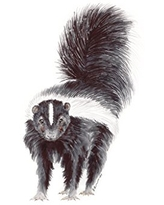 Baby Skunk Watercolor Nursery Wall Art Available In Various Sizes, Nursery Art, Black, White - Various Sizes Available