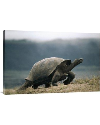 """East Urban Home 'Galapagos Giant Tortoise Male Alcedo Volcano Galapagos Islands Ecuador' Photographic Print EAUB5417 Size: 24"""" H x 36"""" W Format: Wrapped Canvas"""