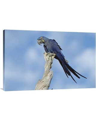"East Urban Home 'Hyacinth Macaw in Tree Pantanal Brazil' Photographic Print EAUB5514 Size: 24"" H x 36"" W Format: Wrapped Canvas"