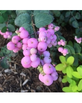 Shopping steals and savings on white flower farm flowers plants symphoricarpos proud berry snowberry coralberry white flower farm mightylinksfo