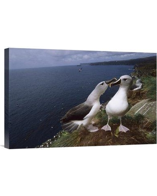 """East Urban Home 'Grey-Headed Albatrosses Investigating Nest Site Campbell Island New Zealand' Photographic Print EAUB5667 Size: 16"""" H x 24"""" W Format: Wrapped Canvas"""