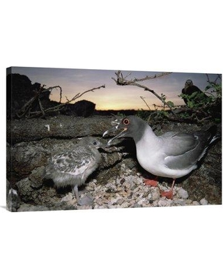 """East Urban Home 'Swallow-Tailed Gull Guarding Chick in Pebble Nest Galapagos Islands Ecuador' Photographic Print EAUB4703 Size: 20"""" H x 30"""" W Format: Wrapped Canvas"""