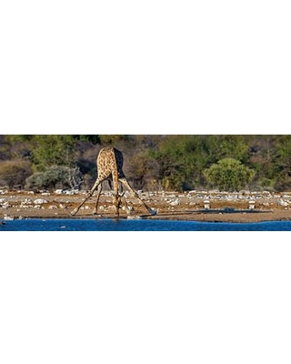 """East Urban Home Giraffe at a Watering Hole II Etosha National Park Namibia Photographic Print on Wrapped Canvas ESHM9441 Size: 12"""" H x 36"""" W x 1.5"""" D"""