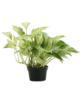 Thorsen's Greenhouse Indoor Pre-Planted Plants green - Live Marble Queen Pothos Plant in a Small Pot