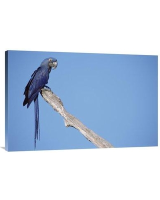"East Urban Home 'Hyacinth Macaw in Tree Pantanal Brazil' Photographic Print EAUB5513 Size: 24"" H x 36"" W Format: Wrapped Canvas"
