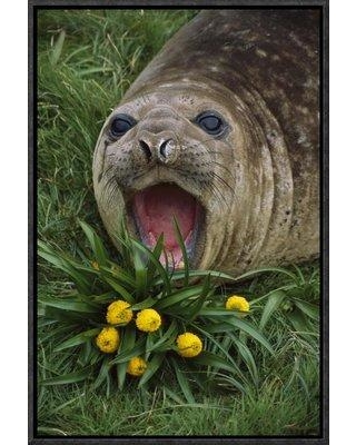 "East Urban Home 'Southern Elephant Seal Yearling Calling Campbell Island New Zealand' Photographic Print EAUB5669 Size: 36"" H x 24"" W Format: Wrapped Canvas"