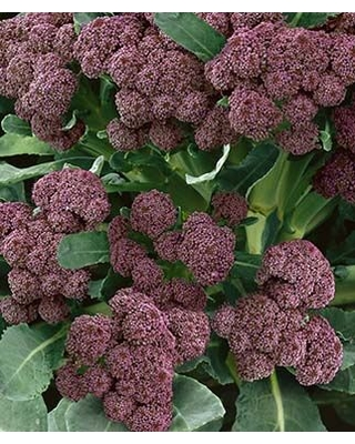 Broccoli, Purple Sprouting 1 Pkt. (200 seeds.)