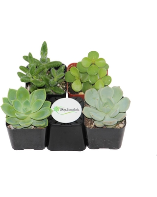 Home Botanicals 2 in. Green Succulent (Collection of 4)