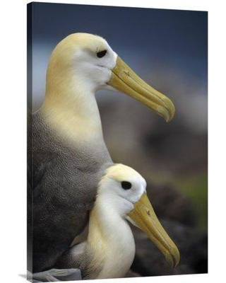 """East Urban Home 'Waved Albatrosses Mating Galapagos Islands Ecuador' Photographic Print EAUB4699 Format: Wrapped Canvas Size: 36"""" H x 24"""" W"""