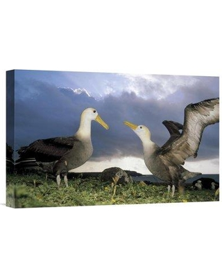 """East Urban Home 'Waved Albatross Courtship Dance Galapagos Islands Ecuador' Photographic Print EAUB5435 Size: 12"""" H x 18"""" W Format: Wrapped Canvas"""
