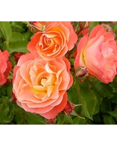 Rose Easy Elegance® Coral Cove - Shrub Rose