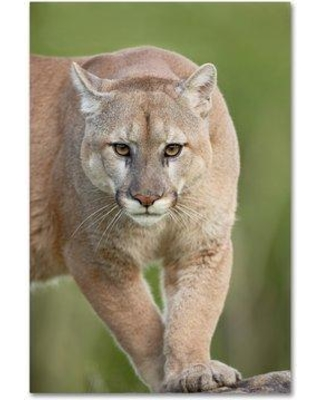 "Trademark Art 'Cougar' Graphic Art Print on Wrapped Canvas ALI19161-C Size: 32"" H x 22"" W"