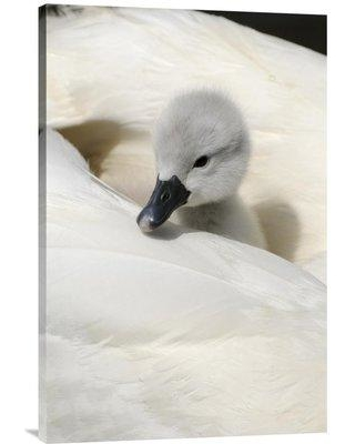 """East Urban Home 'Mute Swan Cygnet on Back of Adult Female Abbotsbury Dorset England' Photographic Print EAAC8348 Size: 30"""" H x 20"""" W Format: Wrapped Canvas"""