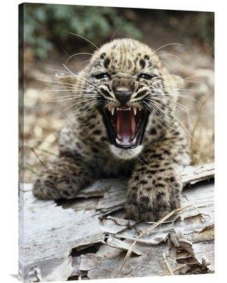 "East Urban Home 'Persian Leopard Cub Snarling Native to Iran and Afghanistan' Photographic Print EAAC9093 Format: Wrapped Canvas Size: 36"" H x 25.56"" W"