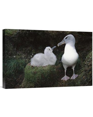 """East Urban Home 'Grey-Headed Albatross Parent Greeting Chick Campbell Island New Zealand' Photographic Print EAUB4644 Size: 16"""" H x 24"""" W Format: Wrapped Canvas"""