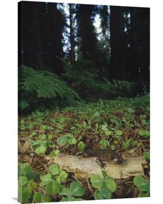 "East Urban Home 'Pacific Giant Salamander on Coast Redwood Forest Floor California' Photographic Print EAAC8667 Size: 36"" H x 24"" W Format: Wrapped Canvas"