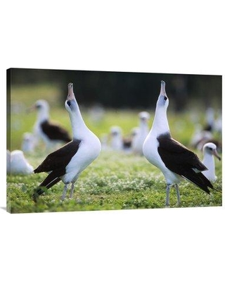 """East Urban Home 'Laysan Albatross Courtship Dance Midway Atoll Hawaii' Photographic Print EAUB5646 Size: 24"""" H x 36"""" W Format: Wrapped Canvas"""