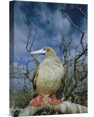"""East Urban Home 'Red-Footed Booby in Palo Santo Tree Galapagos Islands Ecuador' Photographic Print EAUB5516 Size: 18"""" H x 12"""" W Format: Wrapped Canvas"""
