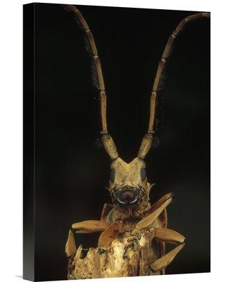 "East Urban Home 'Long Horn Beetle Portrait Antennae Length May Exceed Body Length Asia' Photographic Print EAAC9195 Size: 18"" H x 12"" W Format: Wrapped Canvas"