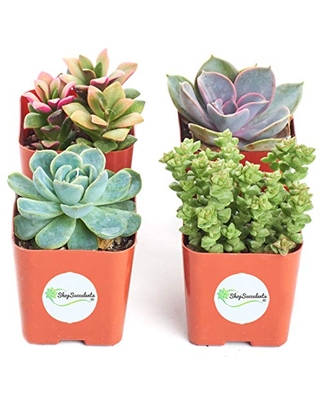 Shop Succulents | Unique Collection | Assortment of Hand Selected, Fully Rooted Live Indoor Succulent Plants, 4-Pack