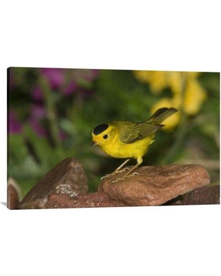 "East Urban Home 'Wilson's Warbler Male Rio Grande Valley Texas' Photographic Print EAAC8658 Size: 24"" H x 36"" W Format: Wrapped Canvas"