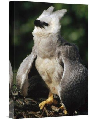 """East Urban Home 'Harpy Eagle Juvenile in Nest Taking a Threat Posture Amazonian Peru' Photographic Print EAUB5061 Size: 18"""" H x 12"""" W Format: Wrapped Canvas"""