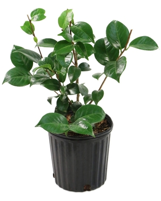 2.5qt Professor Sargent Camellia Japonica Plant with Red Blooms - National Plant Network