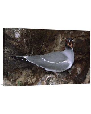 """East Urban Home 'Swallow-Tailed Gull Parent with Chick Calling Galapagos Islands Ecuador' Photographic Print EAUB5527 Size: 20"""" H x 30"""" W Format: Wrapped Canvas"""