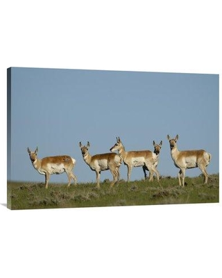 """East Urban Home Wyoming 'Pronghorn Antelope Herd' Photographic Print on Wrapped Canvas NNAI6687 Size: 24"""" H x 36"""" W"""