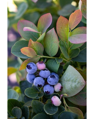 2.5qt Bushel and Berry Blueberry Silver Dollar - National Plant Network