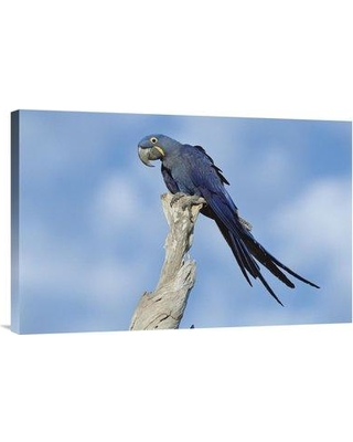 "East Urban Home 'Hyacinth Macaw in Tree Pantanal Brazil' Photographic Print EAUB5514 Size: 20"" H x 30"" W Format: Wrapped Canvas"