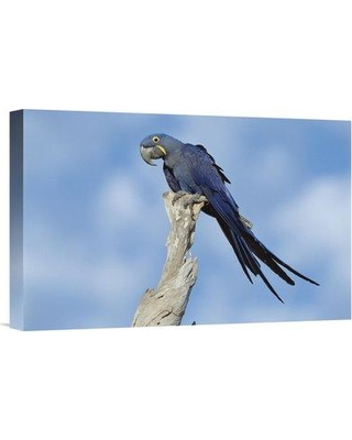 """East Urban Home 'Hyacinth Macaw in Tree Pantanal Brazil' Photographic Print EAUB5514 Size: 12"""" H x 18"""" W Format: Wrapped Canvas"""