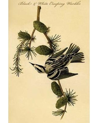 """Buyenlarge 'Black and White Creeping Warbler' Graphic Art Print 0-587-64742-L Size: 36"""" H x 24"""" W x 1.5"""" D"""