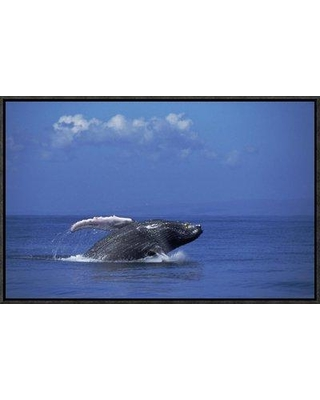 "East Urban Home 'Humpback Whale Breaching Maui Hawaii' Photographic Print EAAC8874 Format: Black Framed Size: 14"" H x 22"" W"