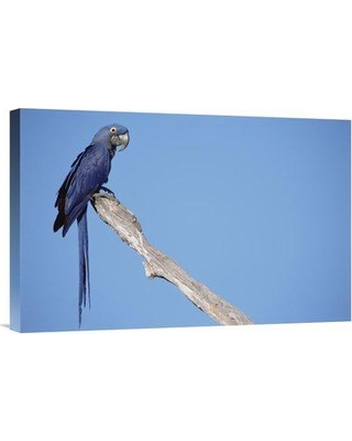 """East Urban Home 'Hyacinth Macaw in Tree Pantanal Brazil' Photographic Print EAUB5513 Size: 16"""" H x 24"""" W Format: Wrapped Canvas"""