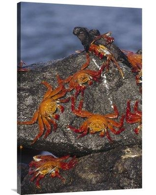 """East Urban Home 'Sally Lightfoot Crabs and Marine Iguanas Galapagos Islands Ecuador' Photographic Print EAUB5631 Size: 36"""" H x 24"""" W Format: Wrapped Canvas"""