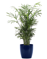 Thorsen's Greenhouse Indoor Pre-Planted Plants Green, - Live Neantha Bella Palm Plant in Small Iris Pot