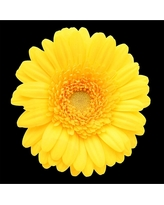 'Yellow Gerber Daisy' Ready to Hang Canvas Wall Art, Yellow