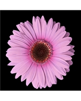 'Pink Gerber Daisy' Ready to Hang Canvas Wall Art, Pink
