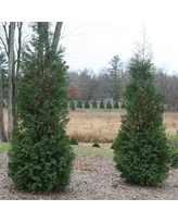 Thuja Occidentalis American Pillar - Arborvitae