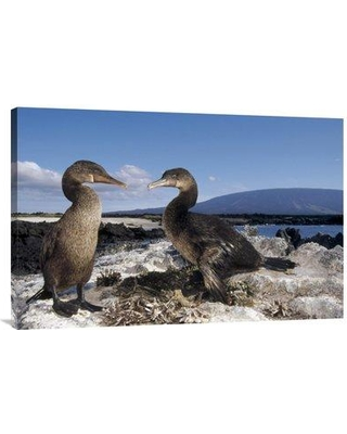 """East Urban Home 'Flightless Cormorants at Nest Lined with Sea Urchins Galapagos Island' Photographic Print EAUB4693 Size: 24"""" H x 36"""" W Format: Wrapped Canvas"""