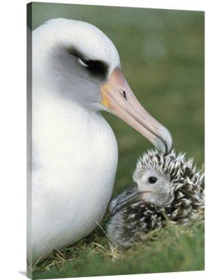 """East Urban Home 'Laysan Albatross Parent Guarding Young Chick Midway Atoll Hawaii' Photographic Print EAUB4566 Size: 36"""" H x 24"""" W Format: Wrapped Canvas"""