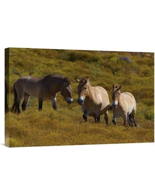 "East Urban Home 'Przewalski's Horse Trio in Grassland Endangered Native to Mongolia' Photographic Print EAAC8216 Size: 16"" H x 24"" W Format: Wrapped Canvas"