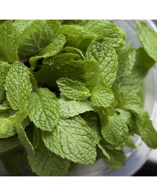 """Burpee Herb 'Chocolate Mint' 1pc Seasonal Grown In All U.S.D.A. Hardiness Zones National Plant Network 4"""""""