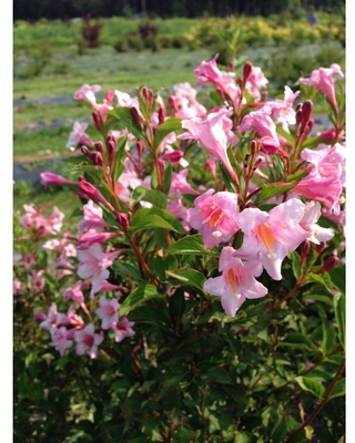 PROVEN WINNERS 1 Gal. Sonic Bloom Pure Pink (Weigela) Live Shrub with Pink Flowers