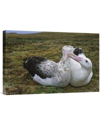 "East Urban Home 'Tristan Albatross Male Nibbling Females Bill Gough Island South Atlantic' Photographic Print EAUB5315 Size: 16"" H x 24"" W Format: Wrapped Canvas"