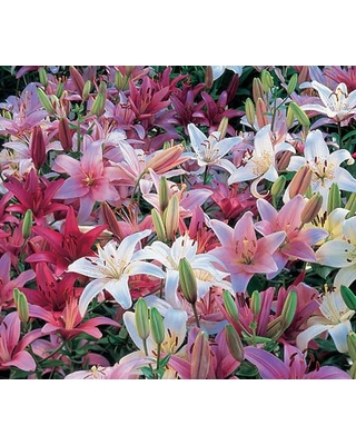Strawberries and Cream Asiatic Lilium Mixture - Asiatic Lily, Perennials, Shade Plants